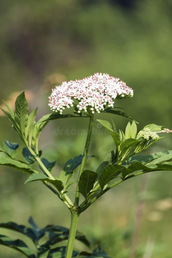 Blühen des Zwergholunders lizenzfreies stockfoto