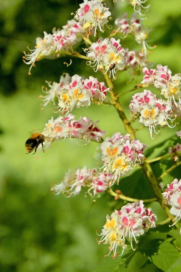 Blühen einer gemeinen Rosskastanie stockfotografie