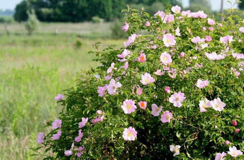 Blühen eines Busch Rosa-canina lizenzfreie stockbilder