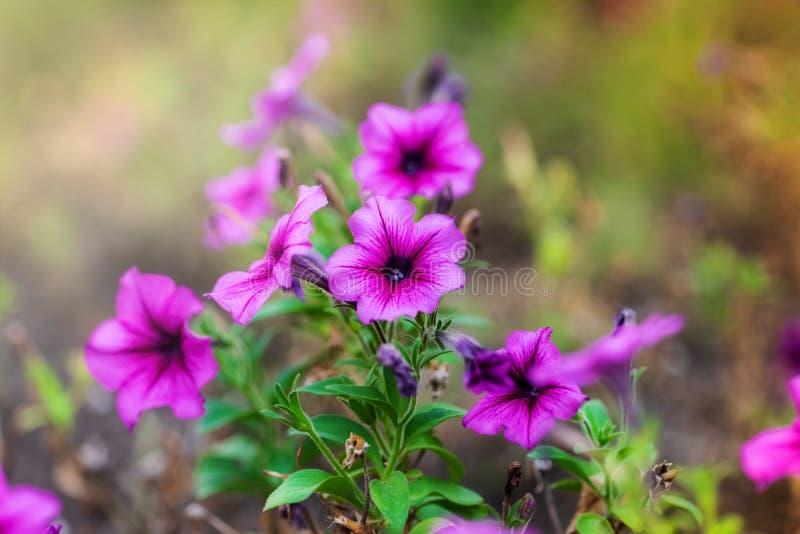 Blühen rosa Blumen im Blumenbeet stockfotos