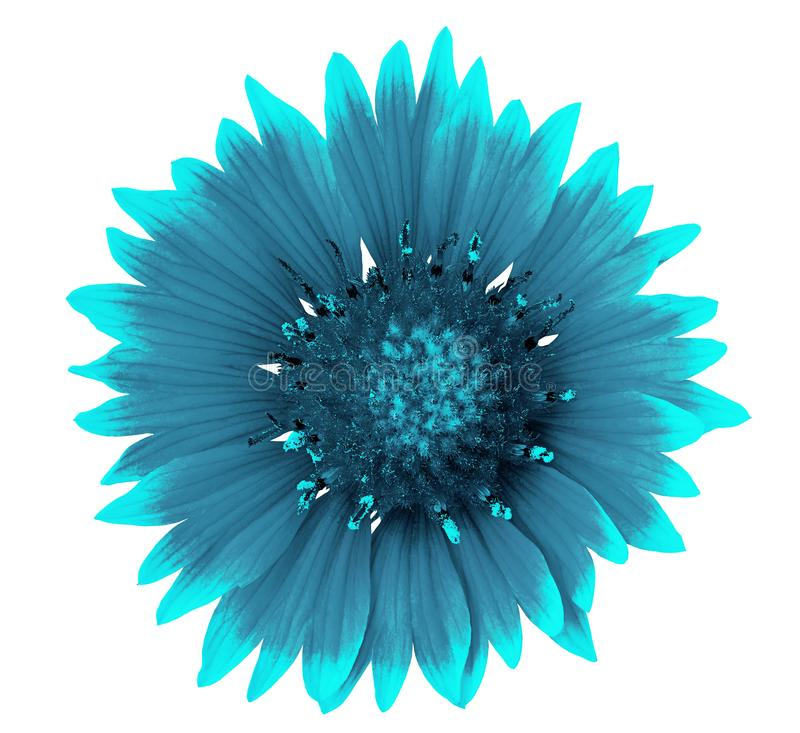 Blühen Sie den cyan-blauen cerulean Gaillardia, der auf einem weißen Hintergrund lokalisiert wird Nahaufnahme lizenzfreies stockfoto
