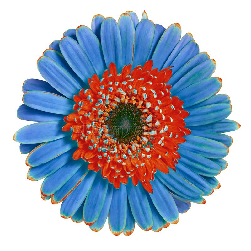Blühen Sie den roten blauen Gerbera, der auf weißem Hintergrund lokalisiert wird Nahaufnahme Makro Element der Auslegung lizenzfreie stockfotos