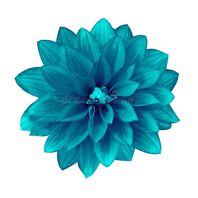 Blühen Sie die cerulean cyan-blaue Dahlie, die auf weißem Hintergrund lokalisiert wird Nahaufnahme stockbilder