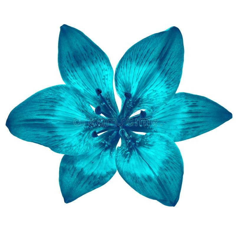 Blühen Sie die cerulean cyan-blaue Lilie, die auf weißem Hintergrund lokalisiert wird Nahaufnahme stockbilder