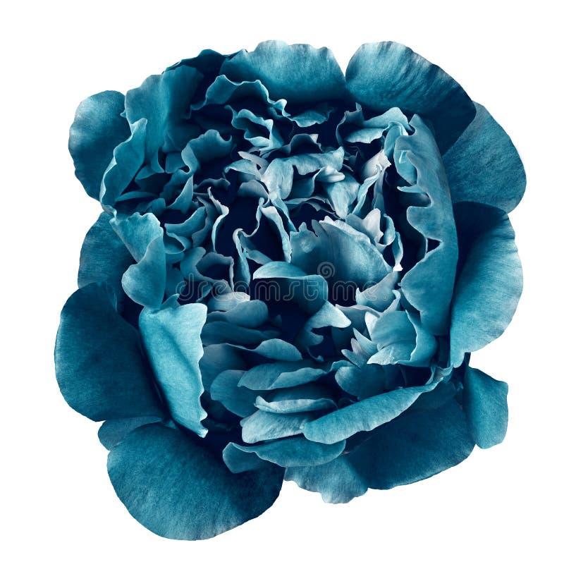 Blühen Sie die cerulean Pfingstrose, lokalisiert auf einem weißen Hintergrund Nahaufnahme stockbild