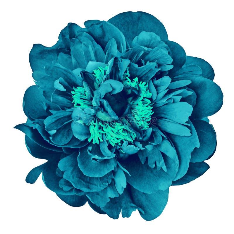 Blühen Sie die cerulean Pfingstrose, lokalisiert auf einem weißen Hintergrund Nahaufnahme lizenzfreies stockfoto