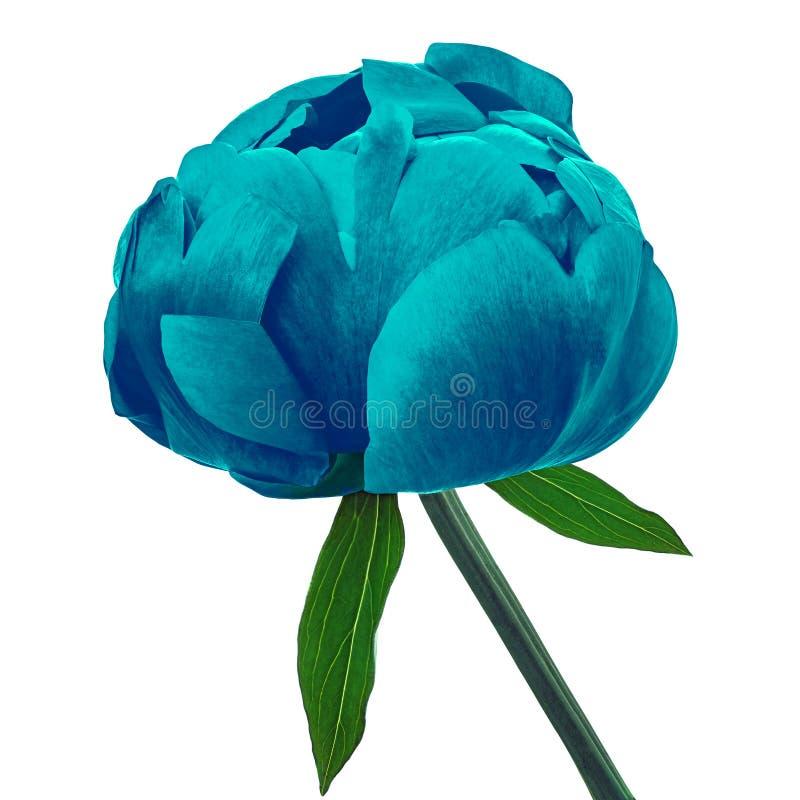 Blühen Sie die cerulean Pfingstrose, lokalisiert auf einem weißen Hintergrund Nahaufnahme stockbilder