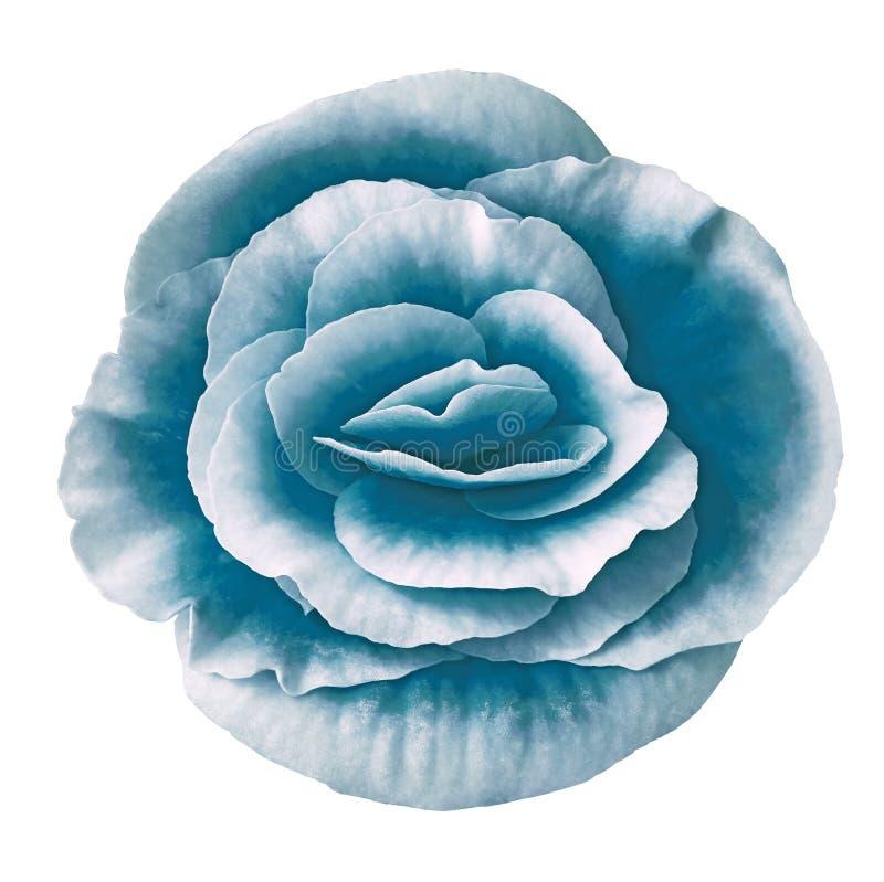 Blühen Sie die cerulean weiße Begonie, die auf weißem Hintergrund lokalisiert wird Nahaufnahme stockfotografie