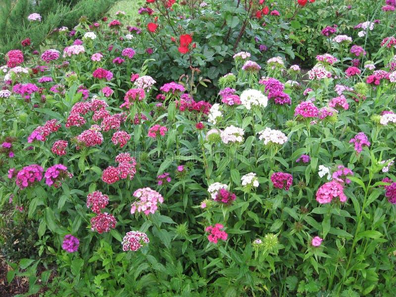 Blühen Sie die Gartennelke Türkischen, Dianthus barbatus, einige blühende türkische bunte Gartennelken auf dem unscharfen Hinterg lizenzfreie stockfotos