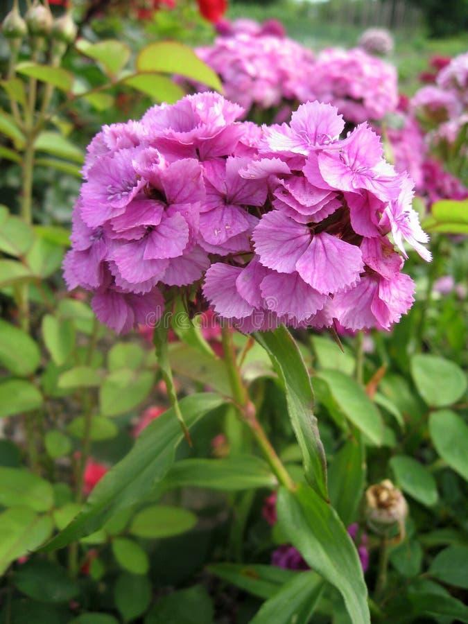Blühen Sie die Gartennelke Türkischen, Dianthus barbatus, einige blühende türkische bunte Gartennelken auf dem unscharfen Hinterg stockfotos