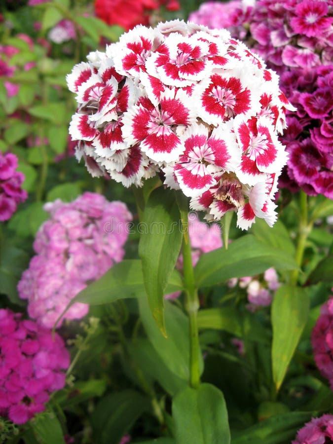 Blühen Sie die Gartennelke Türkischen, Dianthus barbatus, einige blühende türkische bunte Gartennelken auf dem unscharfen Hinterg lizenzfreie stockbilder