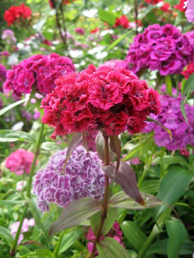 Blühen Sie die Gartennelke Türkischen, Dianthus barbatus, einige blühende türkische bunte Gartennelken auf dem unscharfen Hinterg stockbild