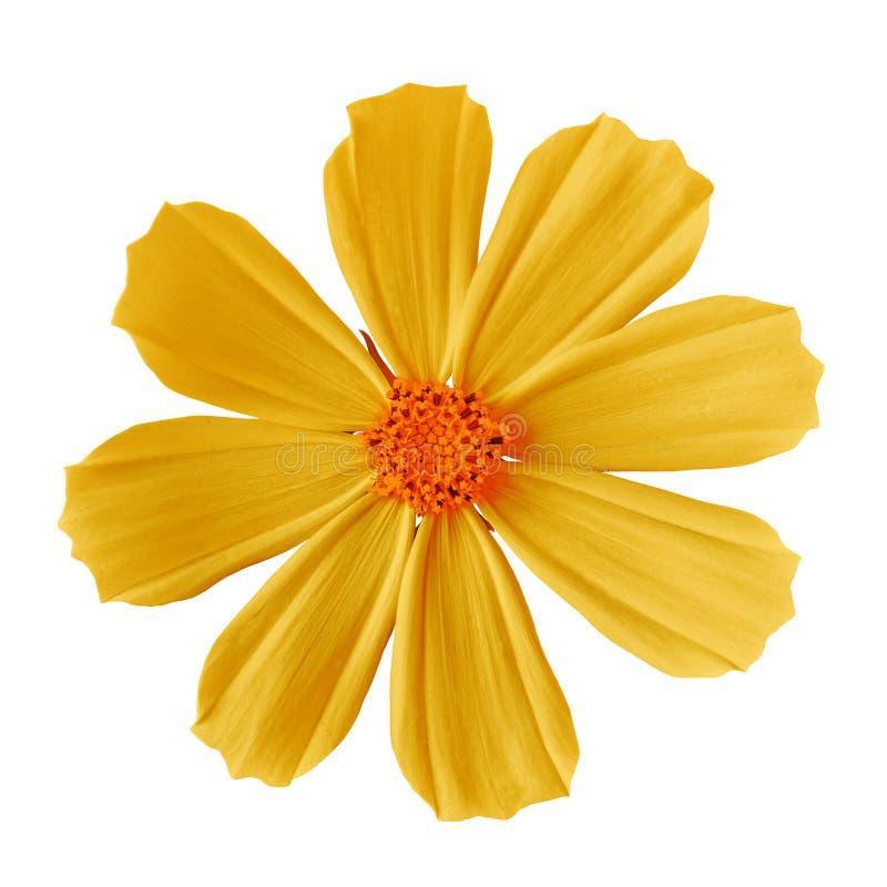 Blühen Sie die mexikanische Aster des gelb-orangeen Kosmos, lokalisiert auf einem weißen Hintergrund Nahaufnahme lizenzfreie stockfotos