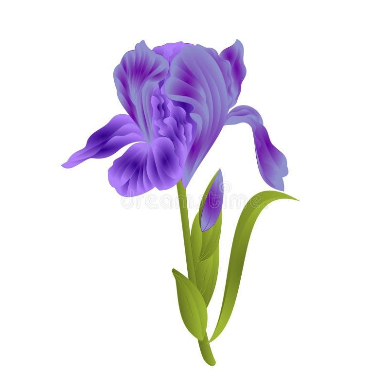 Blühen Sie die violette Iris mit Blätter farbiger Skizze lokalisiert auf der weißen editable Hintergrundweinlese-Vektorillustrati lizenzfreie abbildung