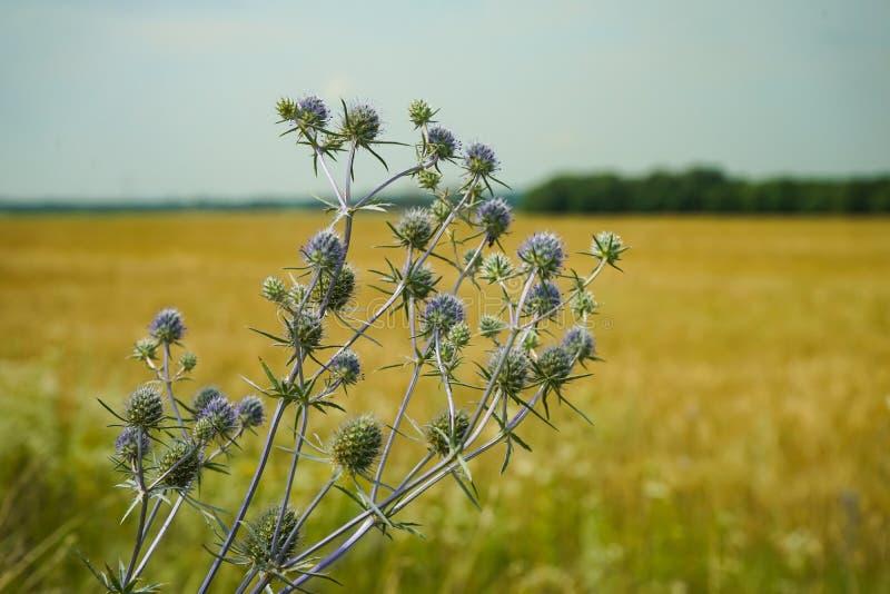 Blühen Sie Eryngium Planum auf dem Hintergrund eines Weizenfeldes und des blauen Himmels Medizinisches Kraut homöopathie stockbild