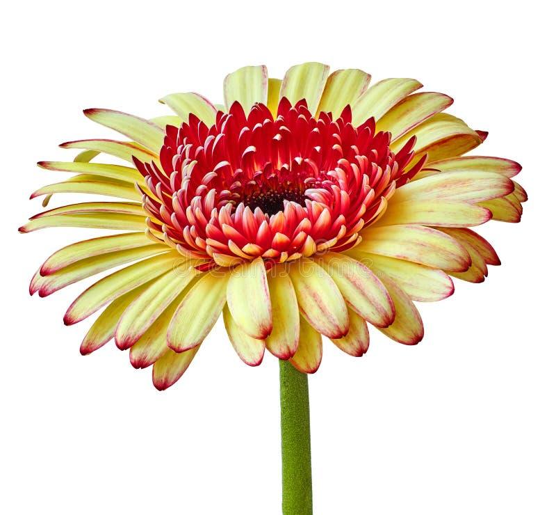 Blühen Sie gelben roten Gerbera mit einer purpurroten Mitte nach innen, lokalisiert auf einem weißen Hintergrund Nahaufnahme Blum lizenzfreie stockfotografie