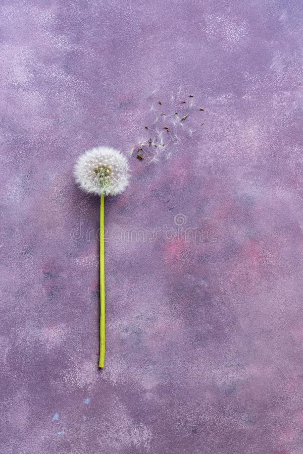 Blühen Sie Minimalismus, Löwenzahn mit Samen auf einem schönen abstrakten Hintergrund Draufsicht, Raum für Text Rosa-purpurroter  lizenzfreies stockfoto