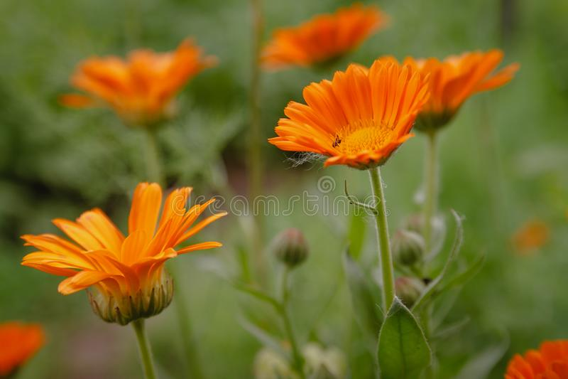 Blühen Sie mit Blättern Calendula, Calendula officinalis, Topf, Garten oder englischer Ringelblume, auf unscharfem grünem Hinterg stockfotografie