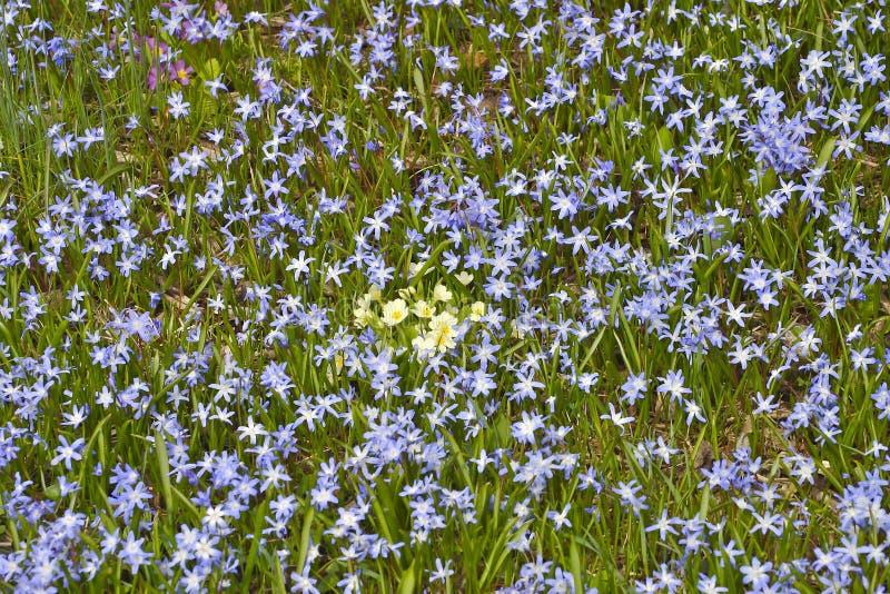 Blühen Sie Teppich von Hyazinthen Chionodoxa des blauen Sternes mit gelber Primeln Primel in der Mitte lizenzfreie stockfotos