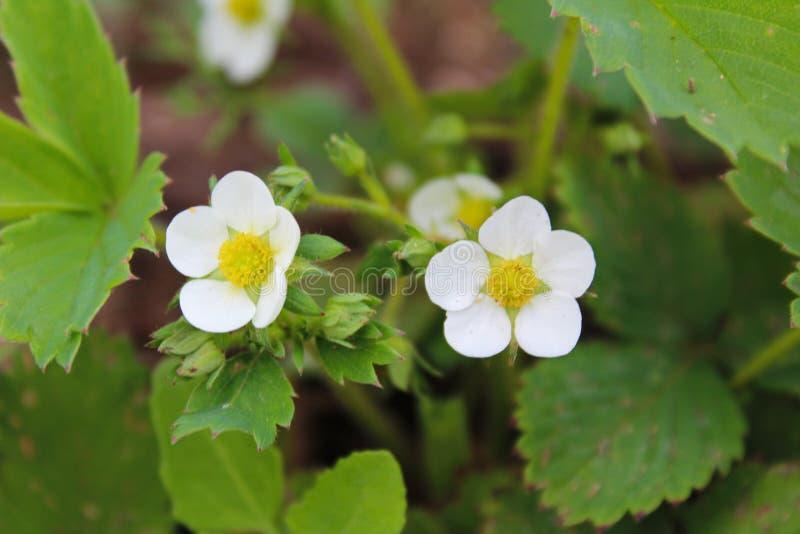 Blühen Sie, Weiß, Blüte, Natur, Grün, Erdbeere, Frühling, Anlage ...