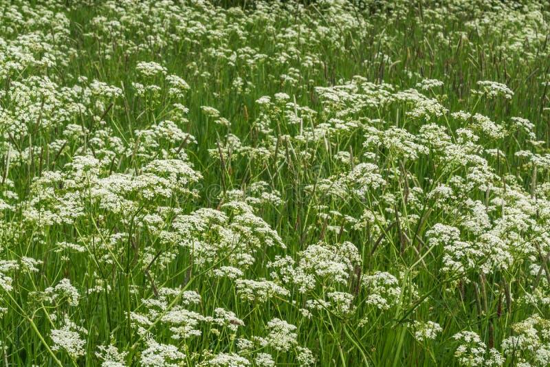 Blühen von Feldgräsern im Sommer stockbild