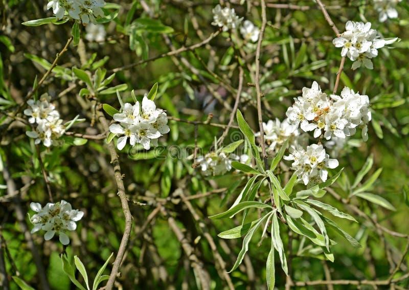 Blühen von Weideblattbirne Pyrus salicifolia f pendula Fr?hling lizenzfreies stockfoto