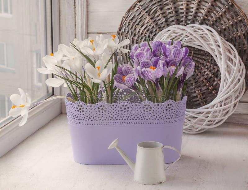 Blühen weiße und gestreifte Krokusse auf dem Fenster stockfotografie