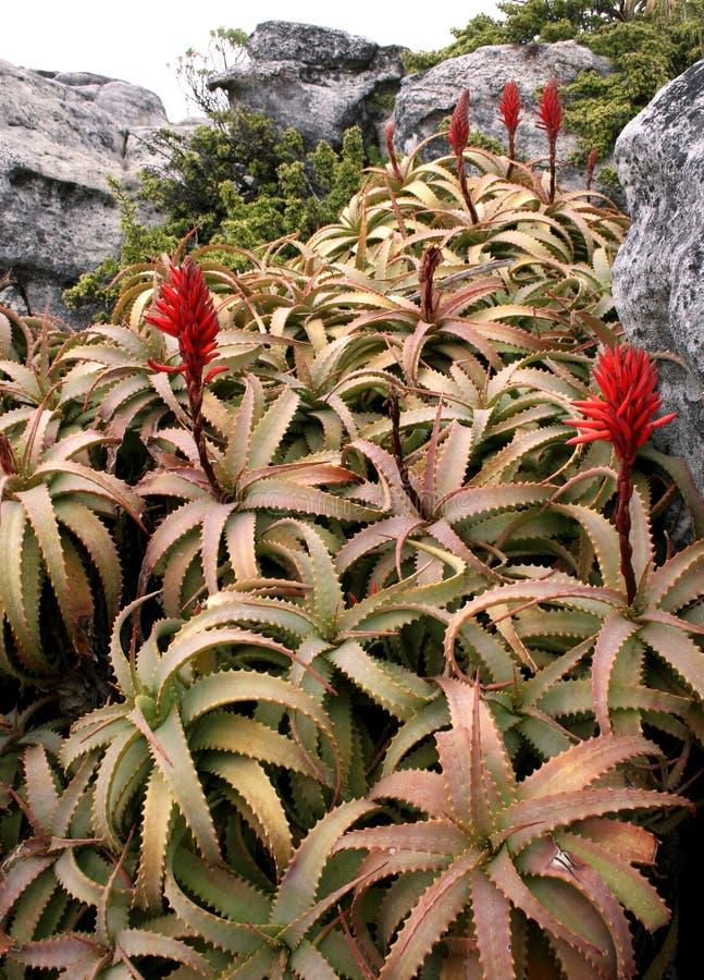 Blühende Aloe lizenzfreie stockfotografie