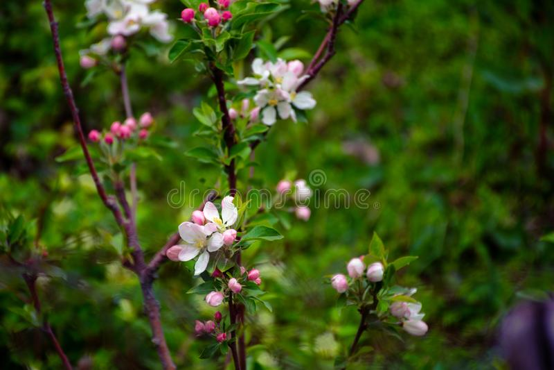 Blühende Apfelbäume Die ersten Frühlingsblumen stockfotos