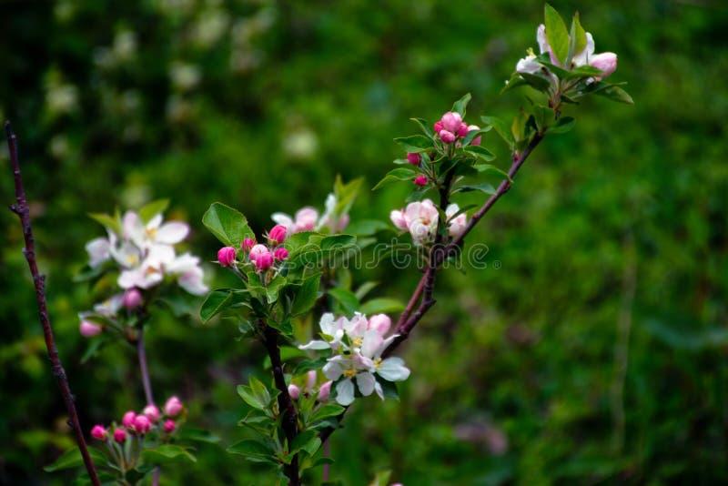 Blühende Apfelbäume Die ersten Frühlingsblumen lizenzfreie stockfotos