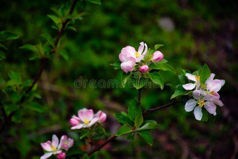Blühende Apfelbäume Die ersten Frühlingsblumen lizenzfreies stockfoto