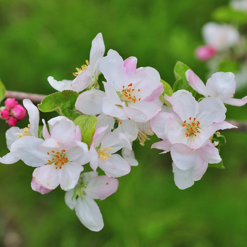 Blühende Apfelbaum-im Frühjahr Zeit stockbild