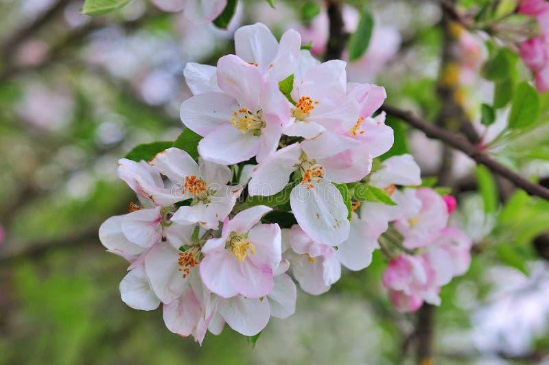Blühende Apfelbaum-im Frühjahr Zeit lizenzfreies stockfoto