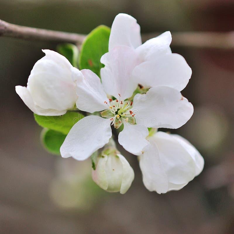 Blühende Apfelbaum-im Frühjahr Zeit stockfoto