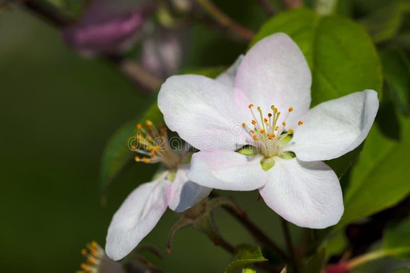 Blühende Apfelblume lizenzfreie stockfotografie