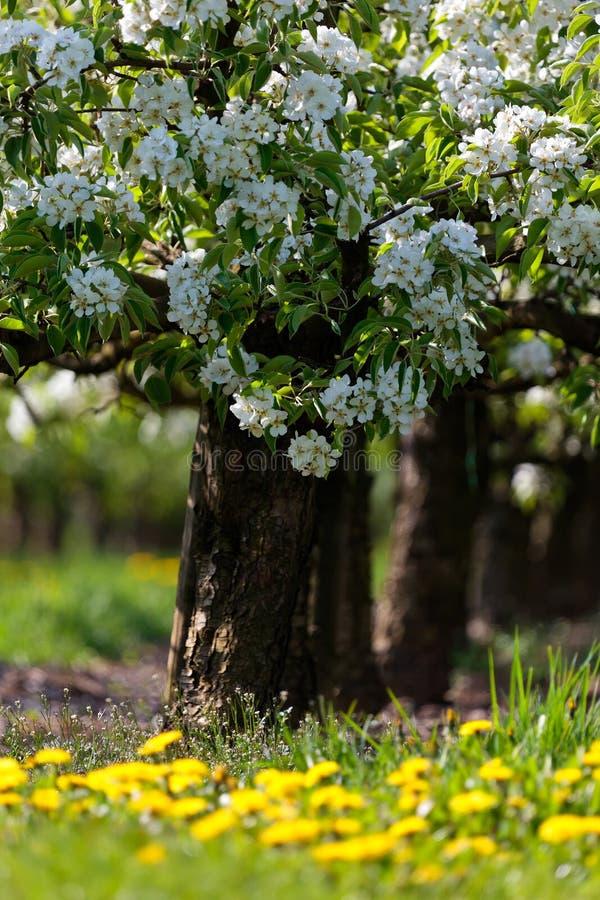 Blühende Bäume Des Weiß Im Frühjahr Stockbild - Bild von flora ...
