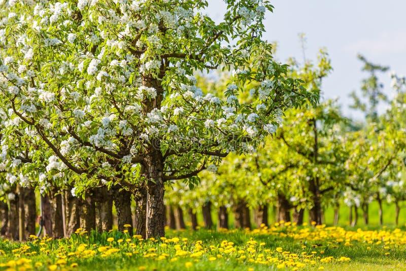 Blühende Bäume Des Weiß Im Frühjahr Mit Hawkbits Stockbild - Bild ...
