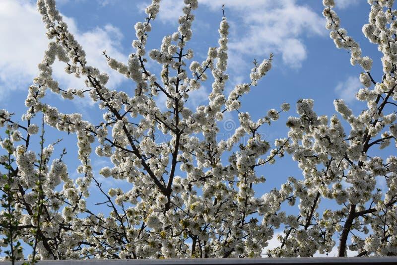 Blühende Baumaste stockfoto