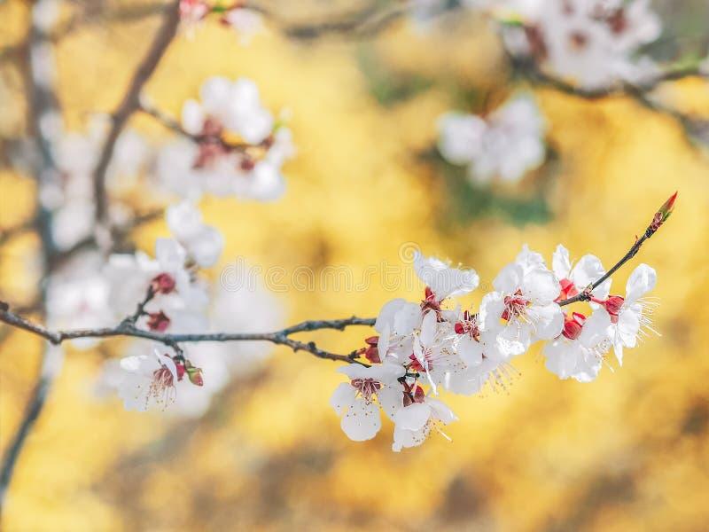 Blühende Baumaste Mit Weißen Blumen Altes Gelbes Papier Auf Dunklem ...