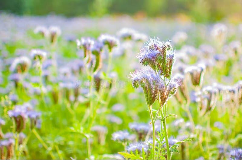 Blühende Bienenweide im Sonnenlicht Violett-blühendes Phacelia Wiesenblumen, die purpurrot und blau blühen stockfotografie