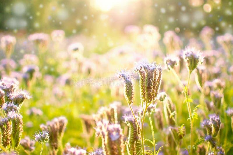 Blühende Bienenweide im Sonnenlicht Violett-blühendes Phacelia Wiesenblumen, die purpurrot und blau blühen stockbilder