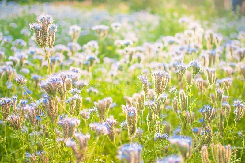 Blühende Bienenweide im Sonnenlicht Violett-blühendes Phacelia Wiesenblumen, die purpurrot und blau blühen lizenzfreie stockbilder