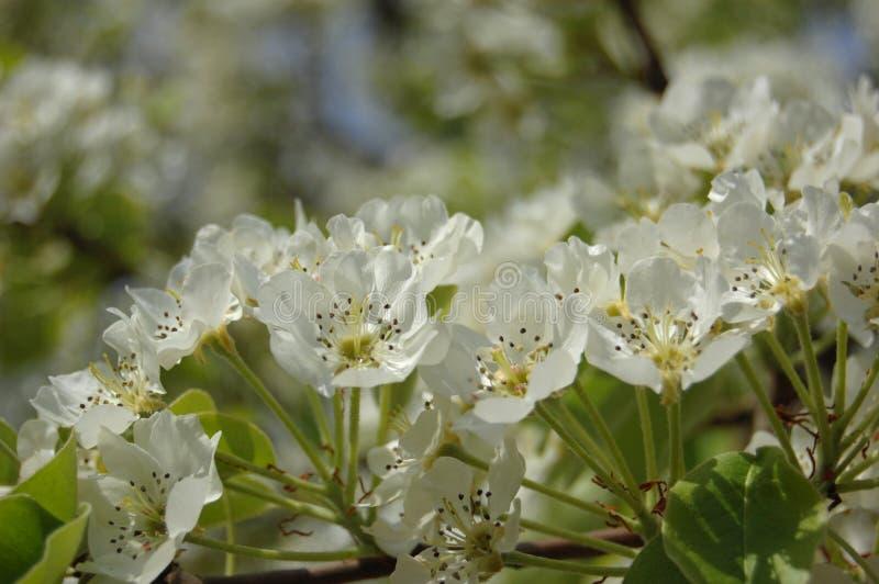 Blühende Birne stockbilder