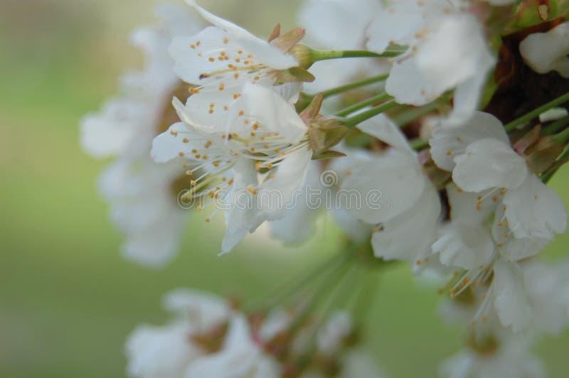 Blühende Birne stockbild