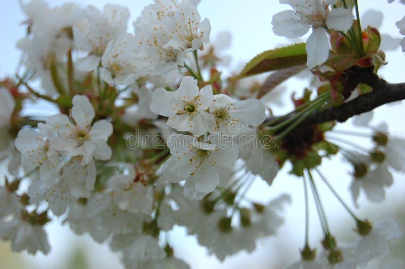 Blühende Birne lizenzfreies stockfoto