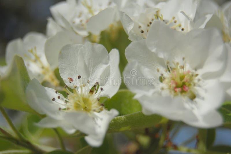 Blühende Birne stockfotografie