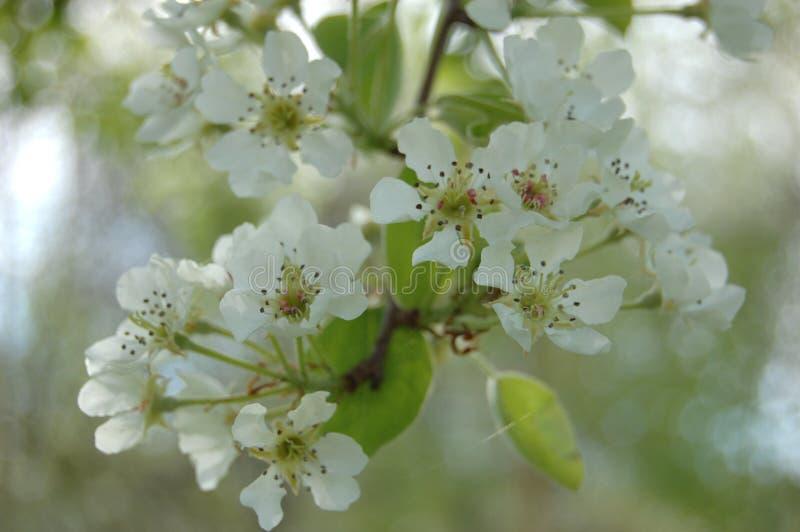 Blühende Birne lizenzfreie stockfotografie