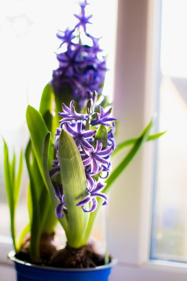 Blühende blaue Hyazinthe im Dezember stockfoto