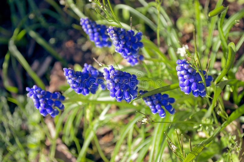 Blühende blaue Muscariblumen im belgischen Garten lizenzfreie stockbilder