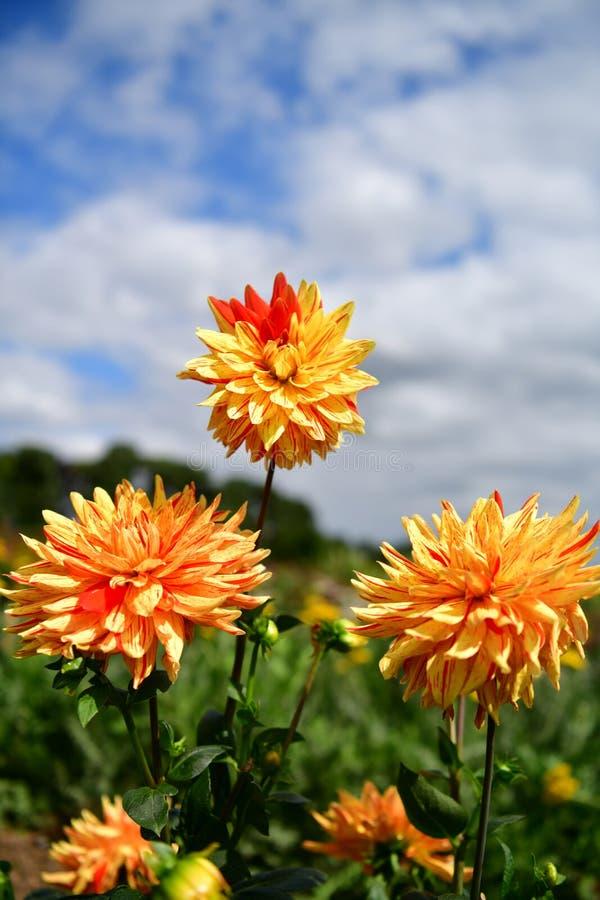 Blühende Blume der Dahlie, Farbfieber, Garten in Großbritannien lizenzfreies stockbild